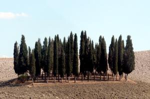 Cypresse Sacre- Sacred Cypress
